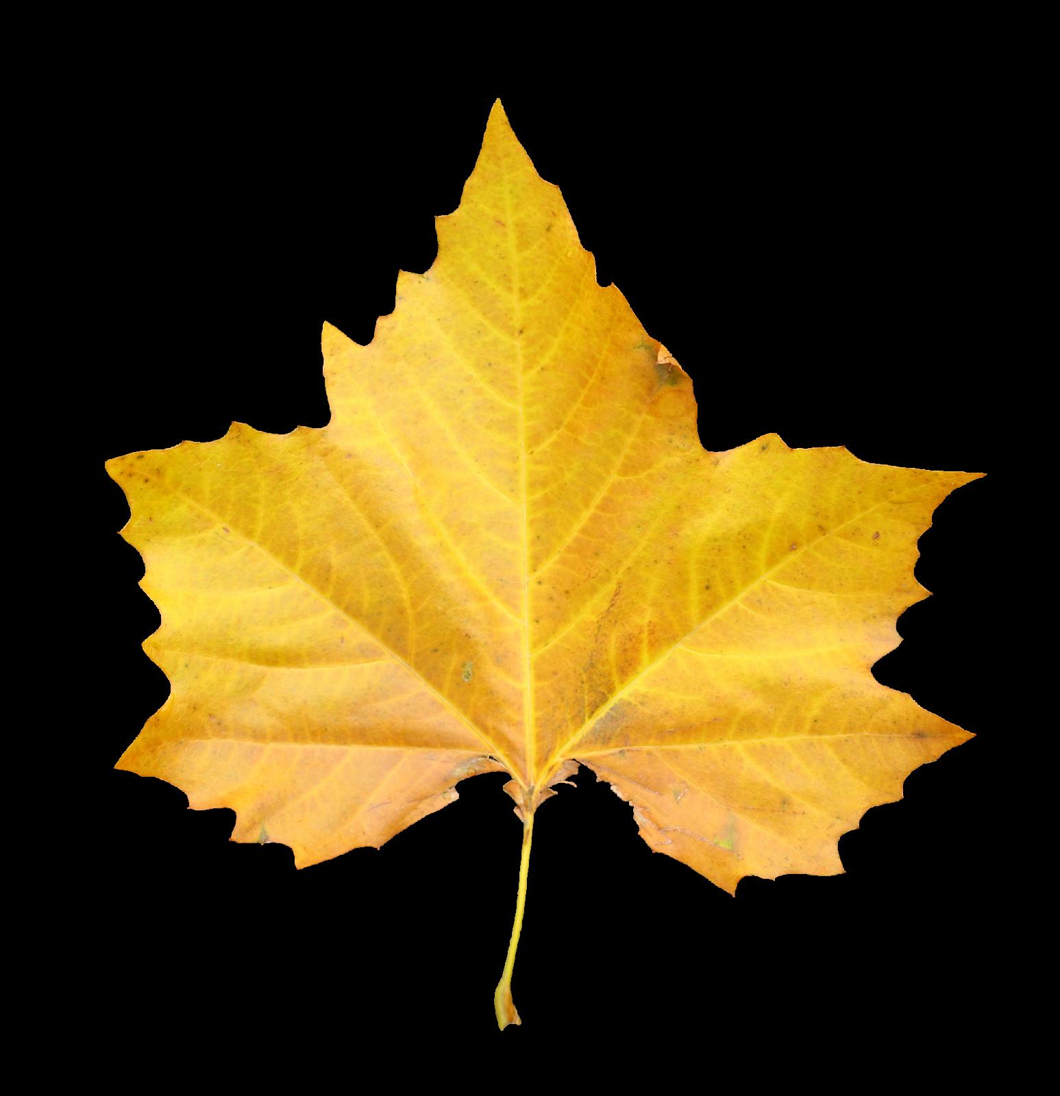 Смешные, желтые листья картинки на белом фоне